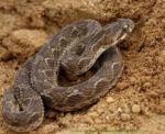 ScaledSaw Viper