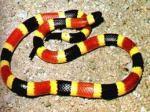 Snake Coral