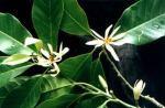 14 (Michelia alba)