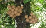 15 (Stelechocarpus burahol)