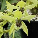 24 (Dendrobium utile)