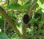 3 (Morus macroura)