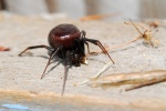 False Black Widows (Steatoda grossa)
