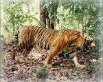 Harimau Bali (Panthera tigris balica)