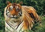 Harimau Bengal (Panthera tigris tigris)