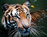 Harimau Caspian (Panthera tigris virgata)