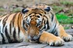 Harimau Cina Selatan (Panthera tigris amoyensis)
