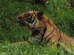 Harimau Indochina (Panthera tigris corbetti)