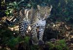 Harimau Jawa (Panthera tigris sondaica)