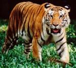 Harimau Malaya (Panthera tigris jacksoni)