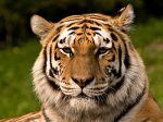 Harimau Siberia (Panthera tigris altaica)