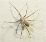Hobo Spiders (Tegenaria agrestis)